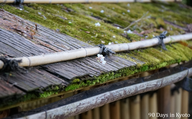 Day 1 Cherry Blossom on a moss roof tea house - 90 days in kyoto