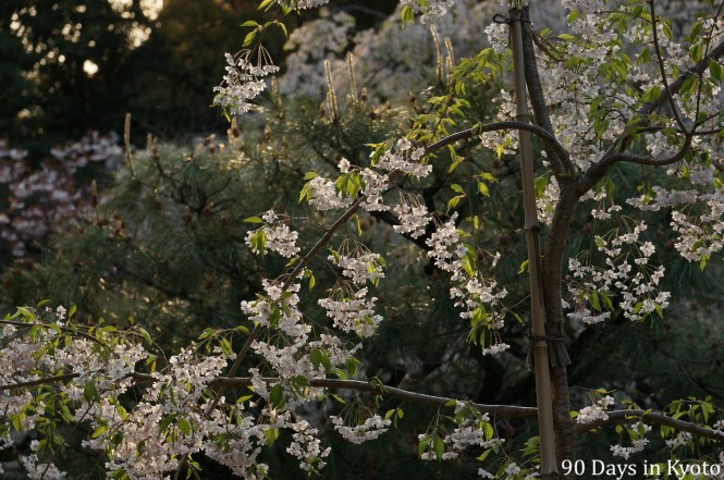 The cherry blossoms with the new green leaves (新緑) at Heian Jingu in Kyoto (平安神宮)