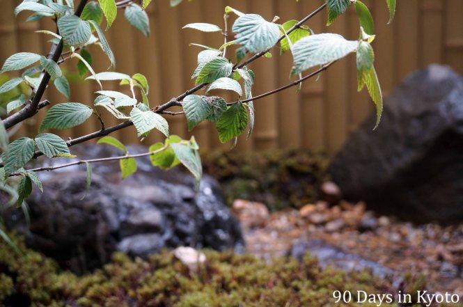 ガマズミ - Viburnum dilatatum